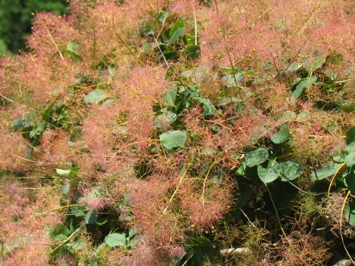 The 'smoke in Smoke Bush or tree(Cotinus species) is from the panicles of tiny flowers and then the whispy seedheads later on.
