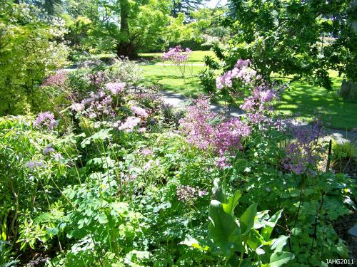 Thalictrum aquilegifolium grows well in the sun or shade with suitable soil conditions met.