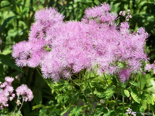 Thalictrum aquilegifolium coolr ranges from deeper and lighter mave shades, pale pink , cream and pure white.