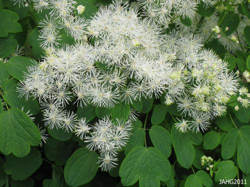 The delicate foliage of Common Meadow Rue is perfectly matched by its downy,fluffy flower heads