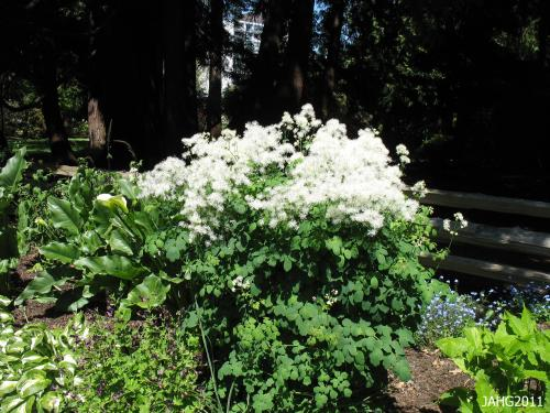 A perfectly growing Thalictrum aqilegifolium 'album' is seen at Beacon Hill Park in Victoria.