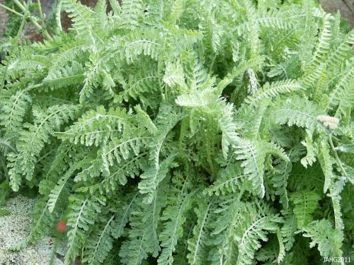 The silvery foliage of Achillea 'Moonshine combines the delicate 'ferniness' of A.taygetea with the silver sturdiness of A. clypeolata.