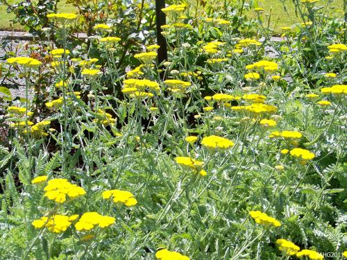 Here Achillea 'Moonshine' is used as a way to hide unsightly Rose stems along the exterior of the Rose Garden at Government House in Victoria.