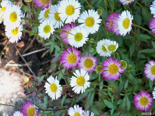 Part of the charm of South American Fleabane lies in flowers which open white and change into pink as they age. This effect is also seen in other Erigeron species.