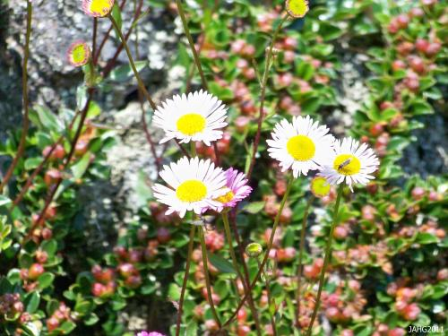 The diminutive flowers on wiry stems of Erigeron karvinskianus are long lasting as they go through their metamorphosis from pure white to deep pink.