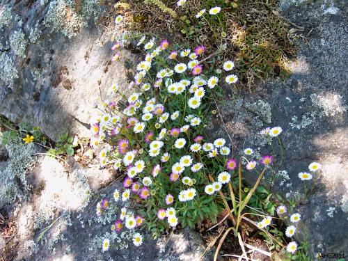 Erigeron karvinskianus (Latin American Fleabane) is a tiny sprawling plant perfect for containers,baskets and in rock cracks.