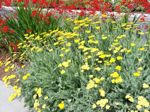 Achillea 'Moonshine is part of the street plantings in Brentwood Bay and looks good year round, tidy foliage and bright non-fading flowers.
