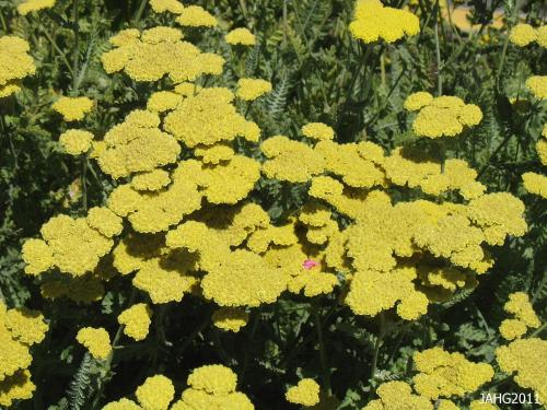 "The golden flowers and silver foliage of Achillea ""Moonshine"" is bright and soft at the same time making it an easy plant to work into garden designs."