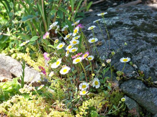 With its tiny parts Erigeron karvinskianus does not seem out of place with other small plants here.