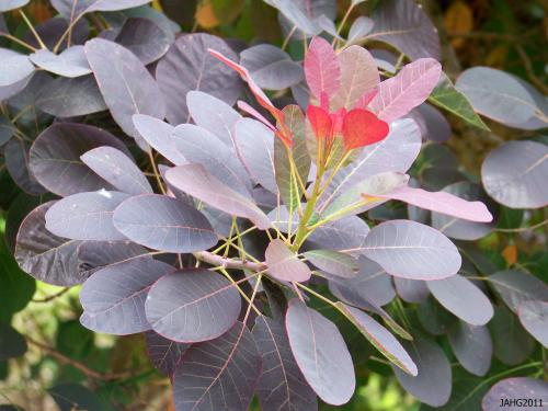 The color tones in one branch of Cotinus coggygria 'Velvet Cloak' is remarkable