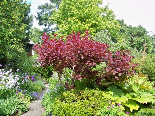 Cotinus 'Grace' is a cross between Cotinus coggygria 'Velvet Cloak' and C. obovatus.