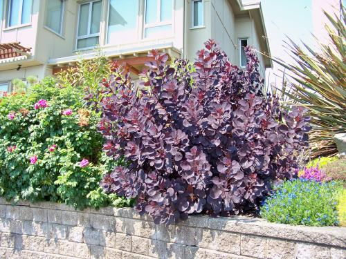 Cotinus 'Royal Purple'(the darkest color) is coppiced to keep its best color and form.
