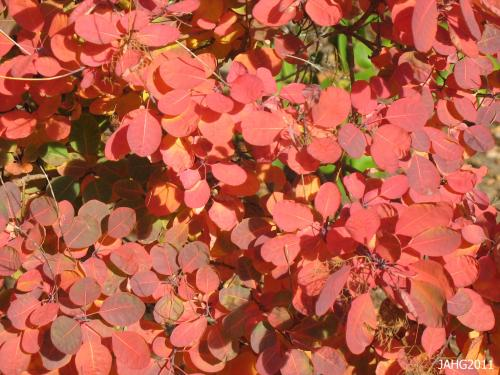Smoke Bush(Cotinus) generally have brilliant autumn colors ranging from scarlet into to peach and golds.