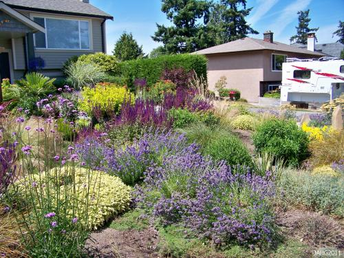 A contemporary west coast drought tolerant garden with Hidcote Lavender as one of the feature plants.