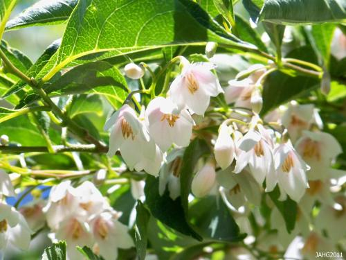 Styrax japonicus 'Rosea' has the lightest pink tinge at the base of the flowers.